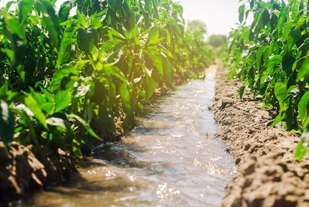 Irrigazione di peperoni nel campo. Foto Premium