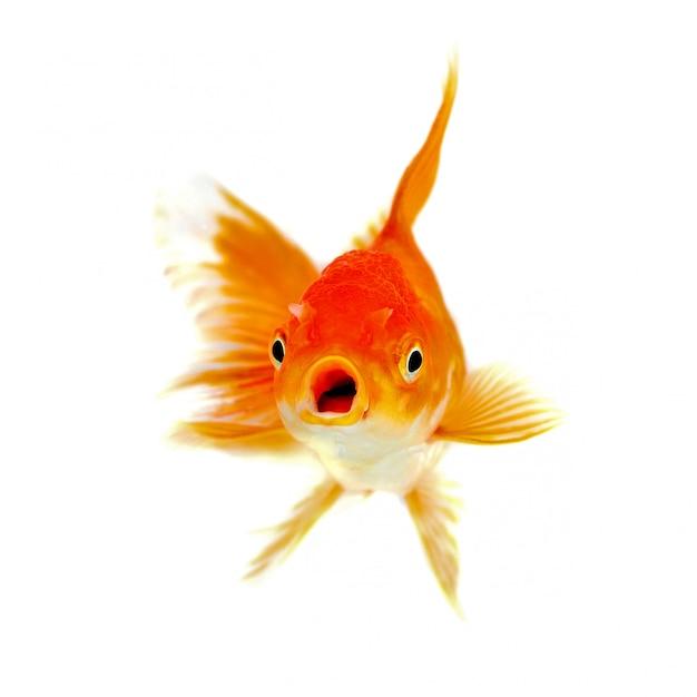 Isolamento del pesce dell'oro sui precedenti bianchi Foto Premium