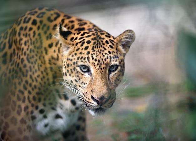 Jaguar closeup ritratto Foto Premium