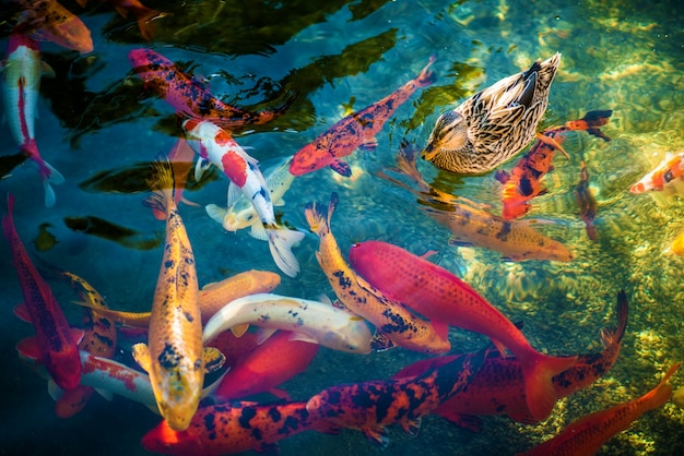 Koi pesci e l'anatra Foto Gratuite