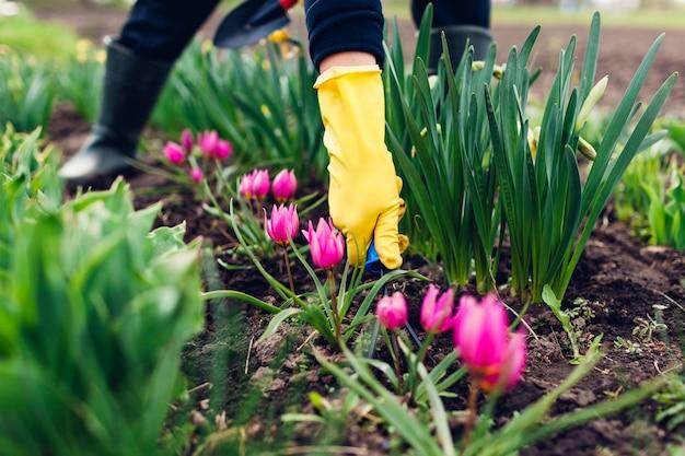 L'agricoltore che allenta il terreno con la forcella tra i tulipani di primavera fiorisce in giardino Foto Premium