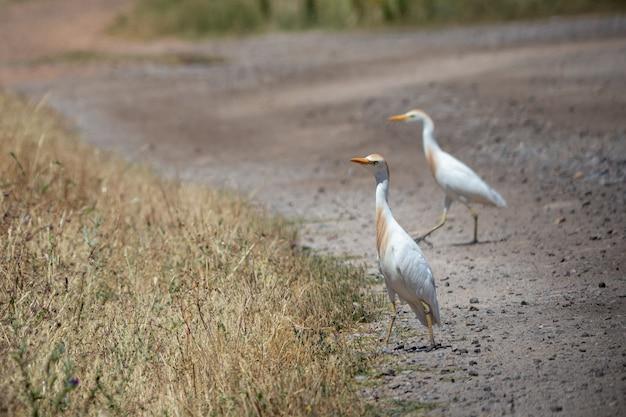 L'airone guardabuoi occidentale (bubulcus ibis) è una specie di airone. Foto Premium
