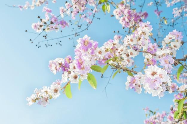 L'albero di tromba rosa di bellezza fiorisce sul fondo del cielo blu Foto Premium