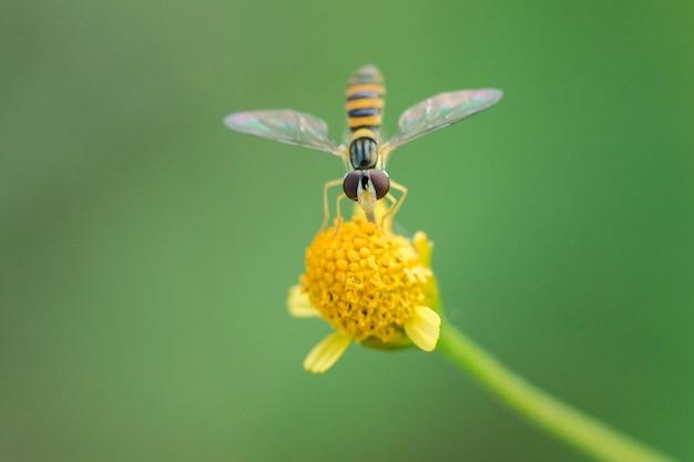 L'ape è sul polline fiore giallo Foto Premium