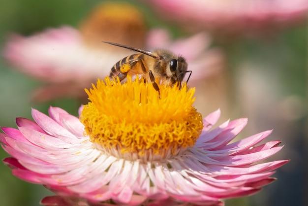 L'ape trova dolce nel fiore di paglia Foto Premium