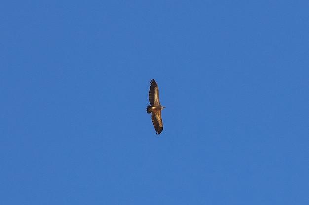 L'aquila nel cielo in montagna, yemen Foto Premium