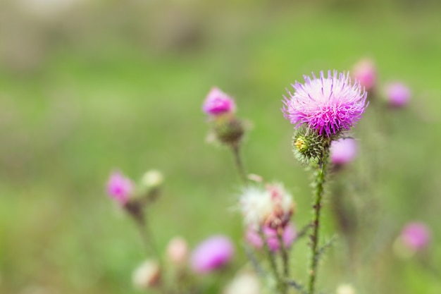 L'erba spinosa è una bardana. sfondo naturale con un fiore di foresta e uno sfondo sfocato. Foto Premium