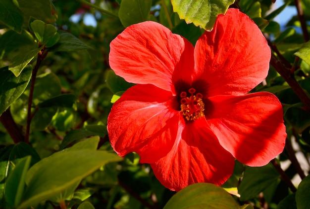 L'ibisco rosso fiorisce in giardino tropicale su tenerife Foto Premium