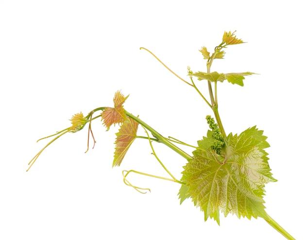 L'uva lascia il ramo della vite con la pianta tropicale dei viticci isolata su bianco, percorso di ritaglio Foto Premium