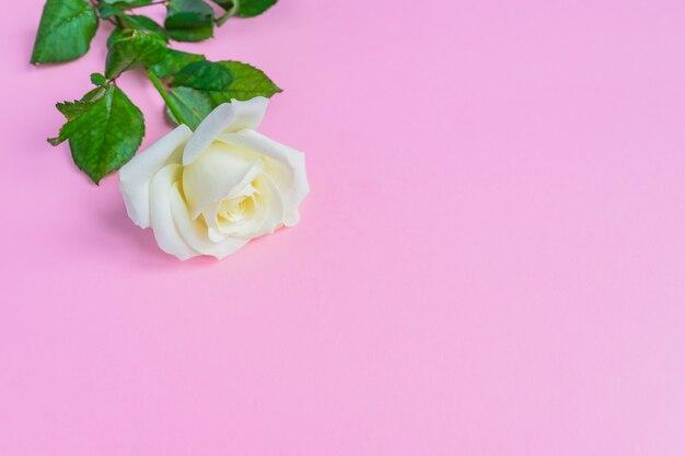 La bella fioritura bianca è aumentato sul fondo di rosa pastello. romantica cornice floreale. copia spazio Foto Premium