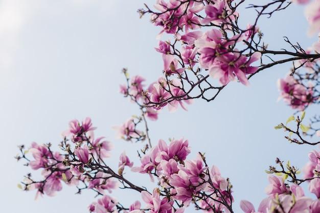 La bella magnolia rosa fiorisce su un albero, il fuoco selettivo, concetto naturale Foto Premium