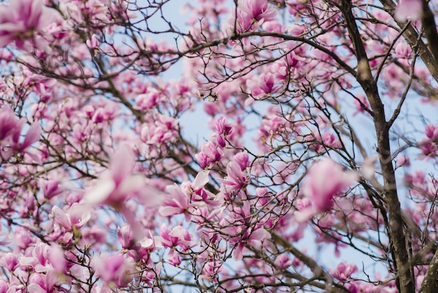 La bella magnolia rosa fiorisce su un albero Foto Premium