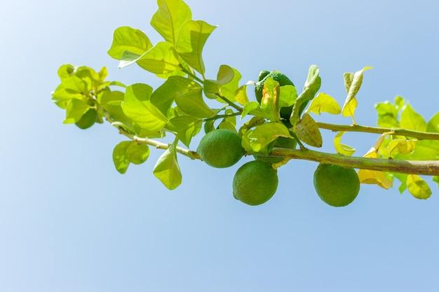 La calce verde fruttifica sull'albero verde contro cielo blu. avvicinamento Foto Premium