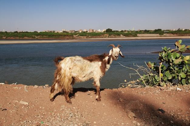 La capra nel piccolo villaggio sul fiume nilo, khartum, sudan Foto Premium