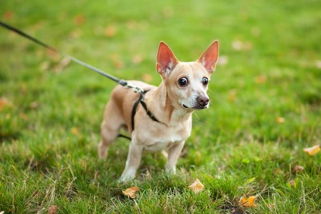 La chihuahua dai capelli rossi del cane cammina in un parco pubblico nella caduta al guinzaglio. cane della chihuahua liscio su una passeggiata. a spasso con il cane. un cane con gli occhi spalancati sembra spaventato e sorpreso. concetto di animali domestici e responsabilità Foto Premium
