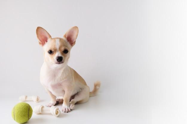 La chihuahua è uno zucchero bianco, di sei mesi, su uno sfondo bianco. Foto Premium