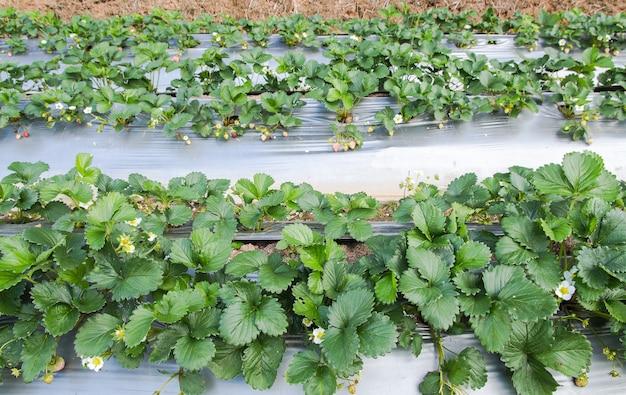 La fattoria di stawberry usa l'agricoltura di plastica sul formato quadrato Foto Premium
