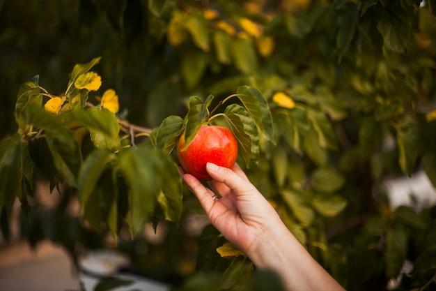 La mano della donna che tiene mela rossa sull'albero Foto Gratuite