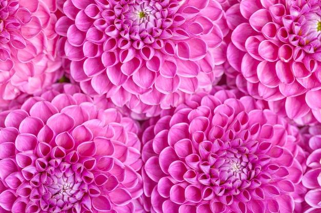 La palla-barbarry della dalia fiorisce il fondo - vista superiore sulle fioriture luminose porpora dell'estate Foto Premium