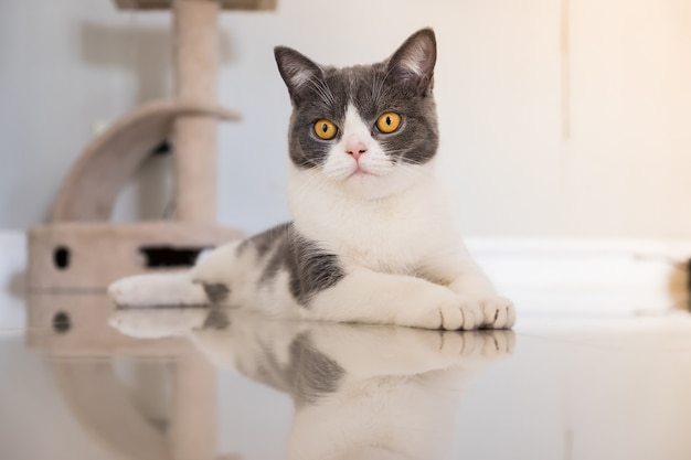 La piega scozzese del gatto del bambino si è distesa sul pavimento nel paese. Foto Premium