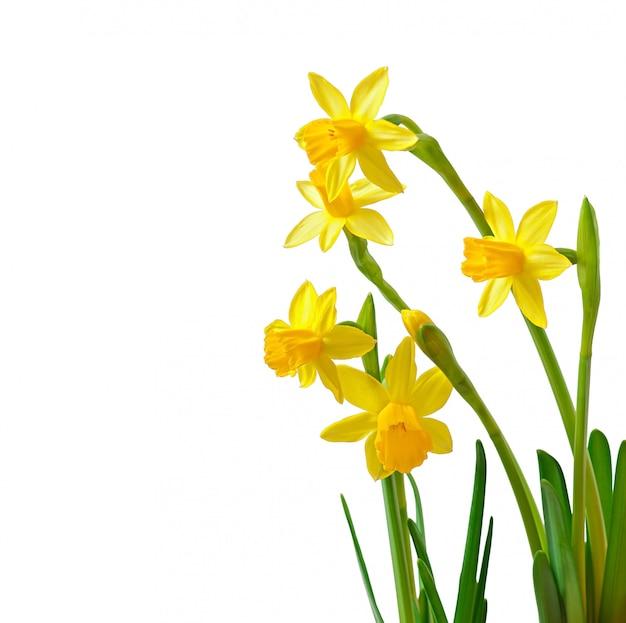 La primavera fiorisce il narciso isolato su bianco Foto Gratuite