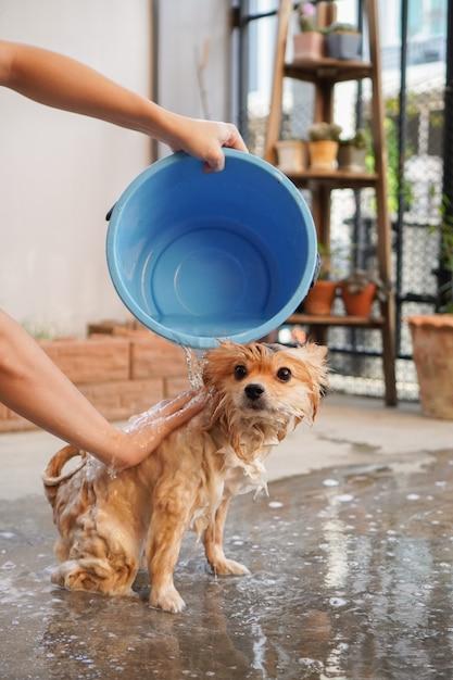 La razza pomeranian o piccolo cane è stata fatta la doccia dal proprietario e si trovava su un pavimento di cemento Foto Premium