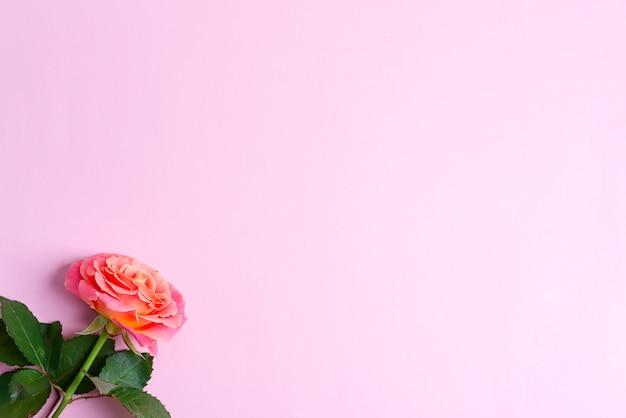 La struttura festiva d'angolo dalle rose di fioritura fresche fiorisce su un fondo rosa Foto Premium