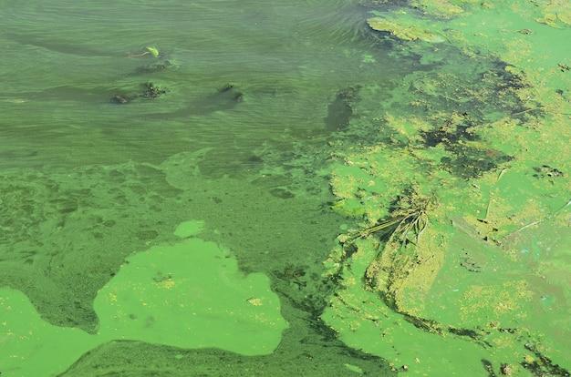 La superficie di una vecchia palude ricoperta di lenticchia d'acqua e foglie di giglio Foto Premium