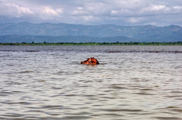 La testa di un ippopotamo si libra sopra l'acqua nel lago tana in etiopia con le montagne sullo sfondo. concetto di viaggio e avventura Foto Premium
