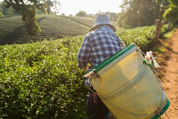 La vista scenica delle donne dell'agricoltore del lavoratore dell'asia stavano selezionando le foglie di tè per le tradizioni nella mattina dell'alba alla natura della piantagione di tè Foto Premium