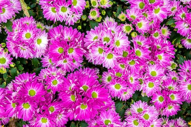 La vista superiore del fiorista porpora mun fiorisce nel giacimento di fiore Foto Premium