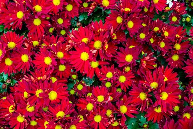 La vista superiore del fiorista rosso mun fiorisce nel giacimento di fiore Foto Premium