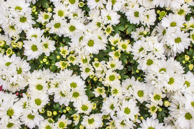 La vista superiore di fiorista bianco mun fiorisce nel giacimento di fiore Foto Premium