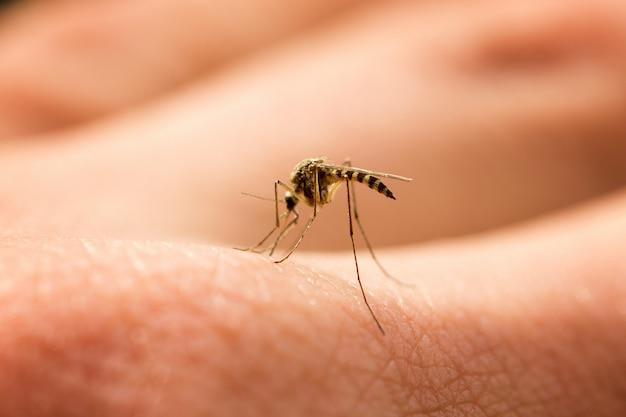 La zanzara succhia sangue sul braccio, fastidioso parassita, insetto dannoso Foto Premium