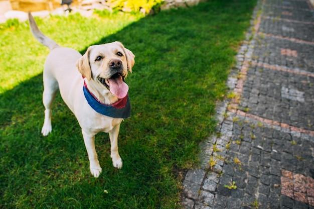 Labrador cane in piedi in erba con il suo camuffamento Foto Premium