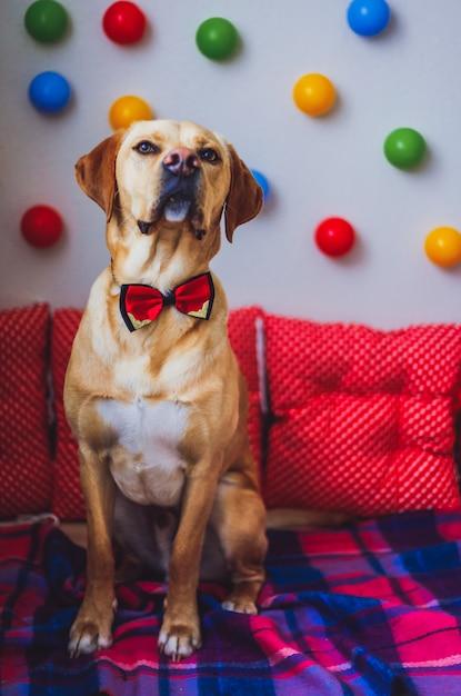 Labrador carino con un papillon sul collo e palloncini Foto Premium