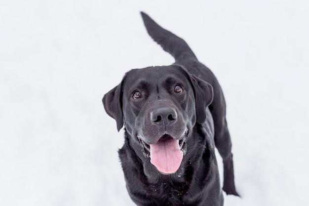 Labrador nero nella neve alla montagna. stagione invernale Foto Premium