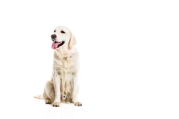 Labrador retriever su uno sfondo bianco Foto Premium