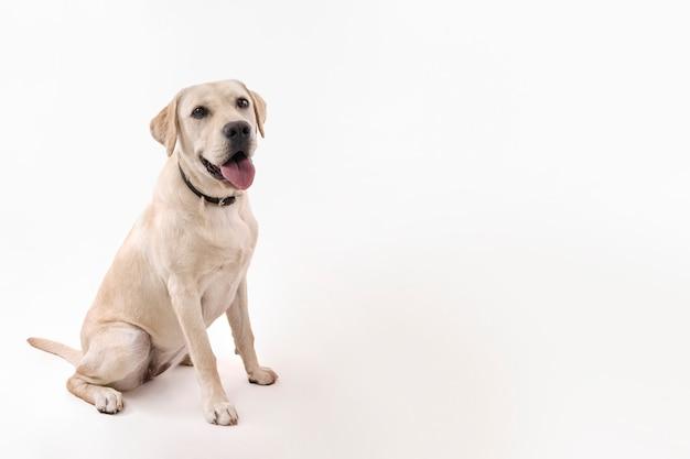 Labrador retriever Foto Gratuite