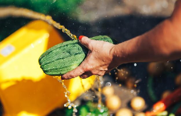 Lavare le verdure, le mani della donna lavano la luce verde del sole all'aperto dello zucchini Foto Premium