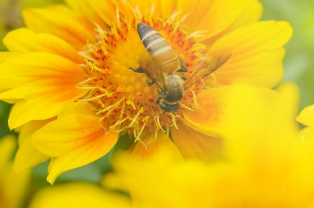 Le api succhiano il nettare dai fiori gialli e lo sfondo sfocato. Foto Premium