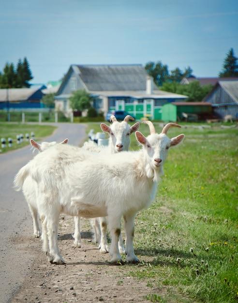 Le capre bianche sono sulla strada Foto Premium