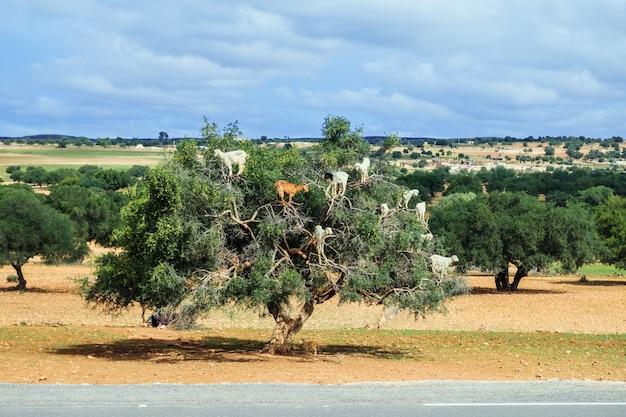 Le capre scalano l'albero di argan per mangiarne le noci. essaouira, marocco. Foto Premium
