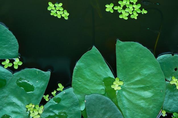 Le foglie di loto sull'acqua sorgono la vista superiore nel fondo della natura di eco Foto Premium