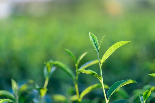 Le foglie di tè crescono nel mezzo della piantagione di tè Foto Premium