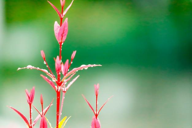 Le foglie rosse di christina crescono dopo che la pioggia è caduta diversi giorni Foto Premium