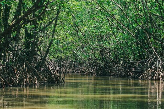 Le foreste di mangrovie in natura hanno molte radici per l'adesione. Foto Premium