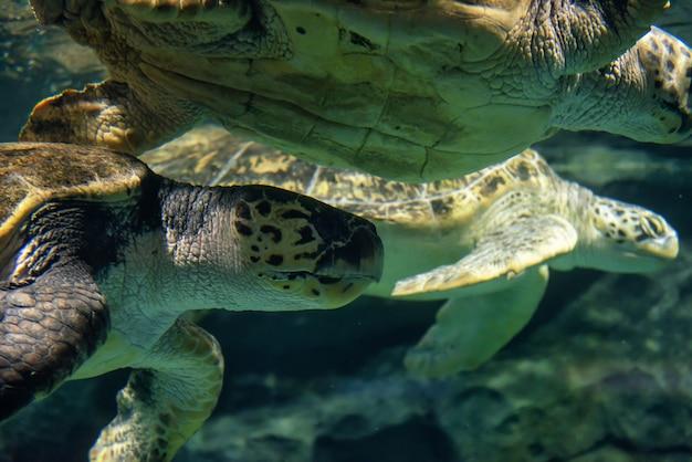 Le grandi tartarughe marine nuotano sott'acqua Foto Premium