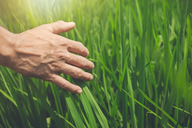 Le mani dell'agricoltore sta tenendo delle foglie di riso verdi sul giacimento del riso. Foto Gratuite