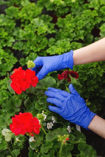 Le mani delle donne in guanti blu sono trapiantati bellissimi fiori rossi di geranio nel giardino Foto Premium